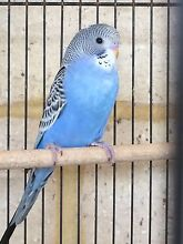 Baby Blue Budgie ( Budgerigar ) 8 weeks old. Ready for pick up. Jane Brook Swan Area Preview