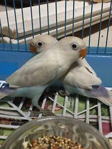 Fisher love bird Babies