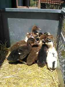 Khaki Campbell x Pekin Ducklings $20 each. Clyde Casey Area Preview