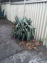 Large plant with pot free  mothers tongue North Parramatta Parramatta Area Preview