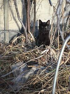 FREE KITTENS LITTER OF 5!! Still available !!! Strathcona County Edmonton Area image 1