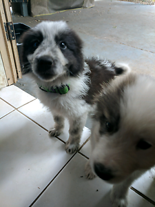 Border collie puppy (black and white) Riverview Ipswich City Preview