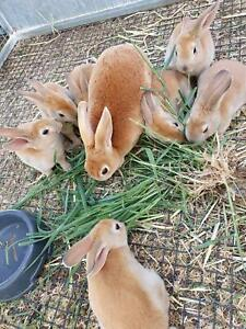 Rabbit kits purebred rex's Gooloogong Cowra Area Preview
