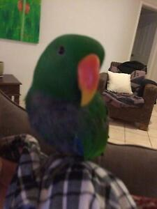 Lost eclectus  parot male (green) Secret Harbour Rockingham Area Preview