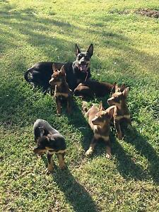 5 Me Kelpie Pups for Sale Mitchell Roma Area Preview