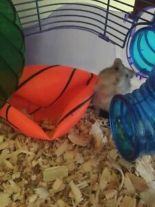 2 Roborovski hamsters with cage 6477167993