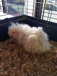 Fluffy male guinea pig  Zillmere Brisbane North East Preview
