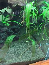 Aquarium plant: Madagascar Lace Inglewood Stirling Area Preview