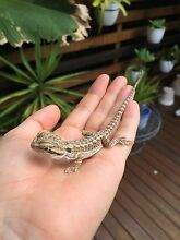 Baby Bearded Dragons Whitfield Cairns City Preview