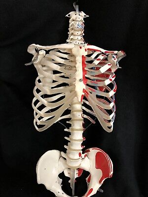 3b Scientific Skeleton Torso With Muscle Attachments Numbered Anatomical Model