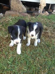 Pure bred Brodie collie pups Denman Muswellbrook Area Preview