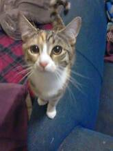Missing Cat Called Rascal The Kitten - Wanted Urgently Back Rochedale Brisbane South East Preview