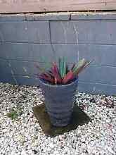 Pot Plant (approx 40cm tall) Aspley Brisbane North East Preview