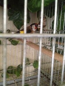 Pair of gold finch Hurstville Hurstville Area Preview