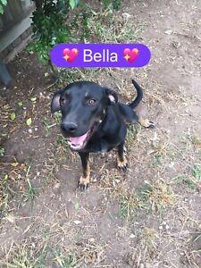 Bella 1yr old Kelpie x Mastiff female