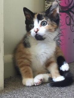 Female kitten 7 weeks old