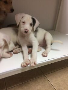 Australian Shep/lab cross puppies