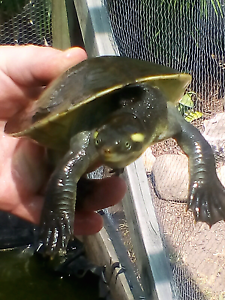 McQuarrie River Turtle to GOOD home only with pond! Read ad! Wynnum Brisbane South East Preview