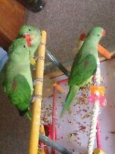 Hand raised Alexanderine Parrots Lawnton Pine Rivers Area Preview