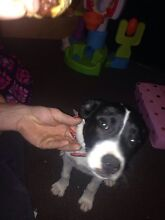 Gorgeous border collie X staffy female Caboolture Caboolture Area Preview
