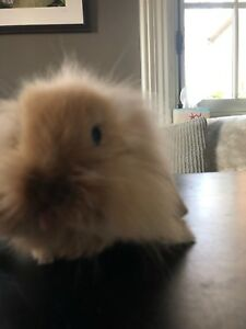 very sweet adorable lion head/lop ear bunny!!