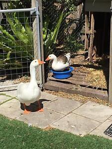 Pair of Geese Grange Brisbane North West Preview