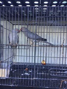 Ringneck parrot's Seven Hills Blacktown Area Preview