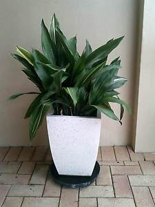 Outdoor Plant with Pot Wembley Cambridge Area Preview