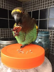 Lost Meyers Parrot