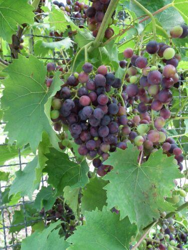 Wine Grape (Vitis vinifera), 20 seeds