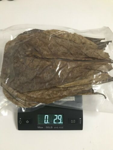 25 Big A+ Indian Almond Leaves for Bettas Shrimps Fish 10+ inches, 3ozs  100g