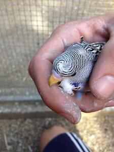 Crested and crest bred budgies Auldana Burnside Area Preview