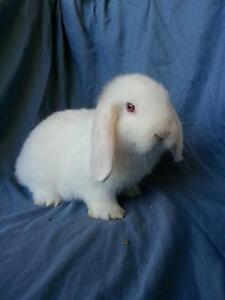 PUREBRED BABY MINI LOP RABBIT Trott Park Marion Area Preview