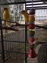 Girl and boy Kakariki parrots and cage for sale Richlands Brisbane South West Preview