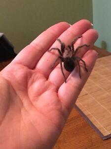 Tarantula B. Albiceps