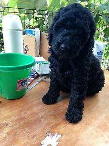 Labradoodle Huskisson Shoalhaven Area Preview