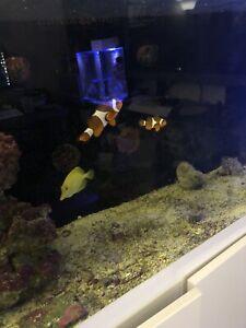 Breeding pair clown fish