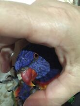 RAINBOW LORIKEET LOST Noble Park North Greater Dandenong Preview