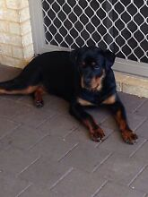 Rottweiler puppy Baldivis Rockingham Area Preview