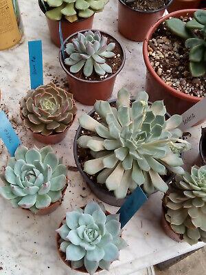Lot Collection of 20 Plants Echeveria Identificadas between 8-20 CMS Size