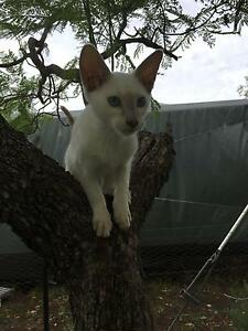 Purebred Siamese kittens for sale Bundall Gold Coast City Preview