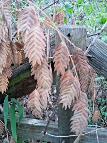 NORTHERN SEA OATS (Chasmanthium Latifolium) -- 50+ seeds. Pretty native grass!