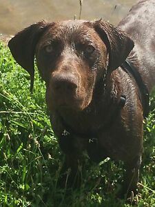 German Shorthaired Pointer, free to only the best home Giralang Belconnen Area Preview
