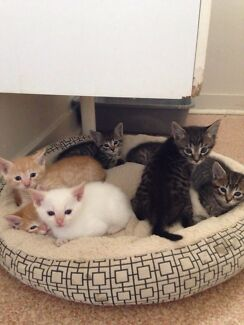 GOING QUICK CUTE KITTENS CAN DELIVER  Brisbane City Brisbane North West Preview
