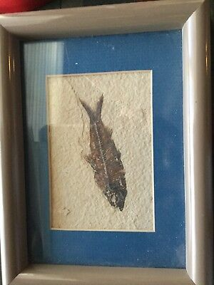 Eocene Period Green River Shale Fossil Herring 35 to 50 Million Years