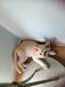 RED BURMESE FEMALE  KITTEN Coffs Harbour Coffs Harbour City Preview