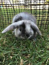 Baby dwarf lop rabbit Londonderry Penrith Area Preview