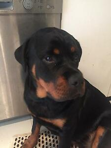 Beautiful Rottweiler Female needs loving home. Concord Canada Bay Area Preview