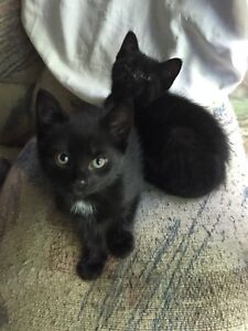 Two female 2 month old kittens