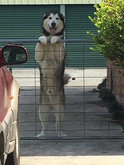 Alaskan Malamute Dog Thornton Maitland Area Preview